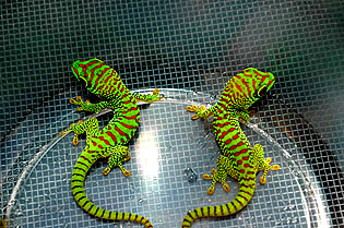 Super crimson giant day geckos