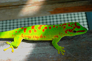 Super red giant day gecko