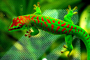 Cherry head giant day gecko, Phelsuma grandis