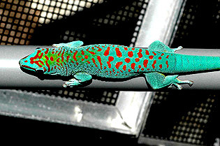 Super blue giant day gecko, Phelsuma grandis