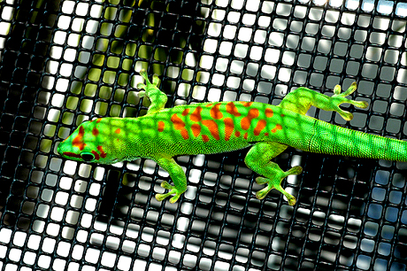 High Red Giant Day Gecko, Phelsuma grandis