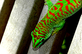 Super crimson giant day gecko