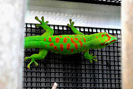 Blotched High Red Giant Day Gecko, Phelsuma grandis