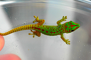 Partial stripe giant day gecko