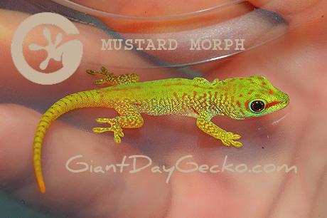 http://www.giantdaygecko.com/picoftheweekmustard.html
